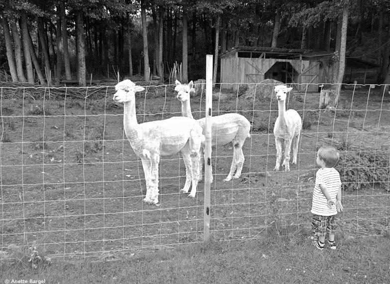 Alpackor med pojke som observatör