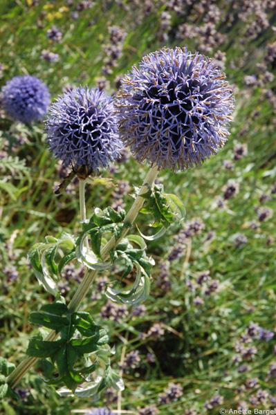 Blombollar i blått
