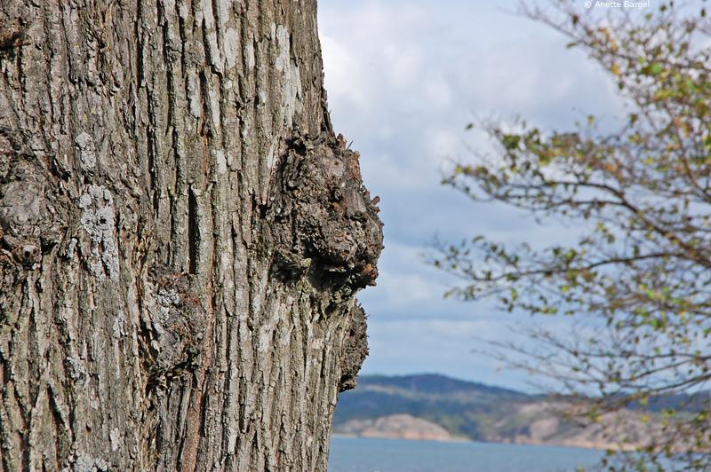Knöl på träd