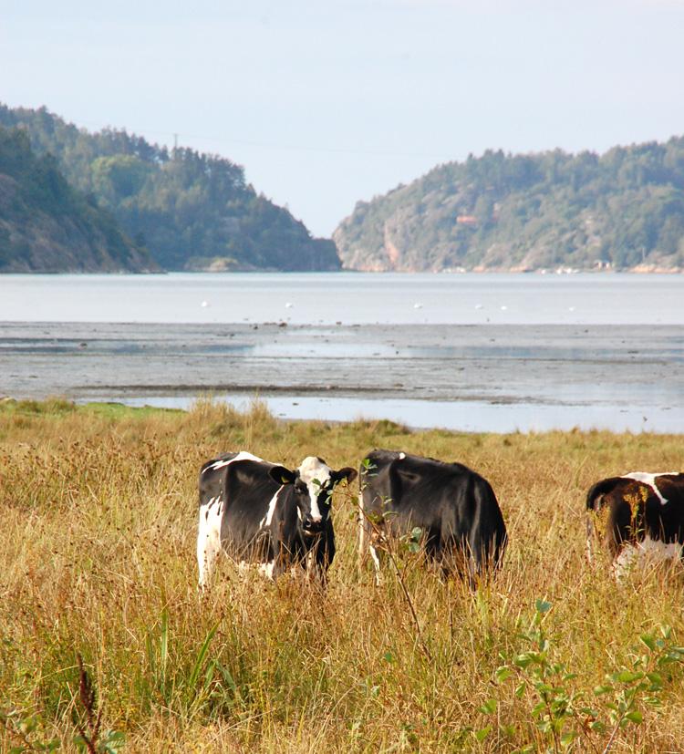Fjordäng kossor bohuslän strandäng Foto Anette Bargel