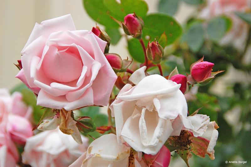 Livets triangel rosor