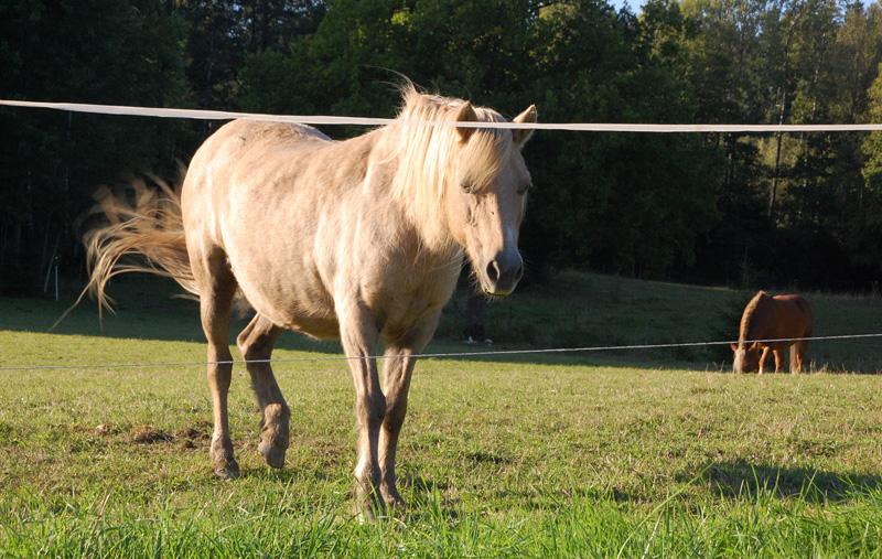 häst som viftar med svanseb