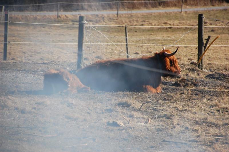 Highland cattle bohuslän