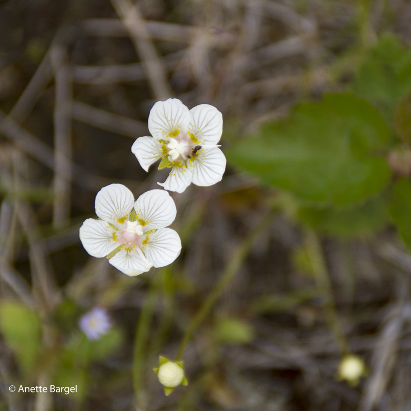 blomma norrland