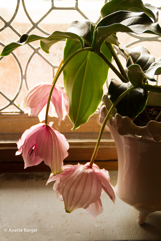 SLokande blommor på krukväxt
