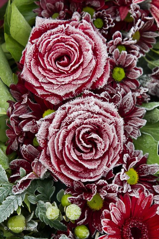 Rosor med frost