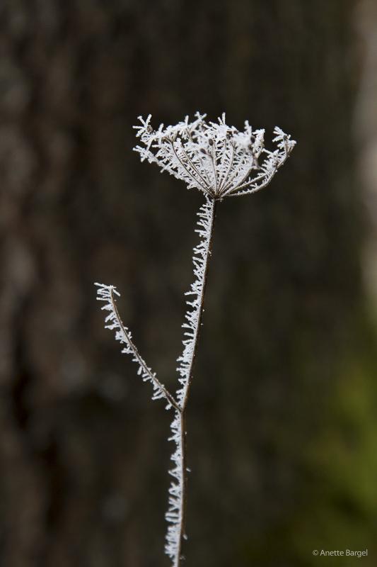 Frostig växt