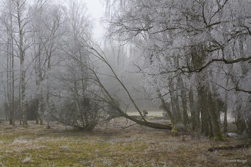 nedblåst träd