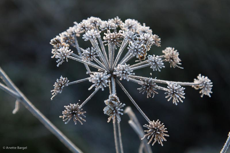 frostblomma