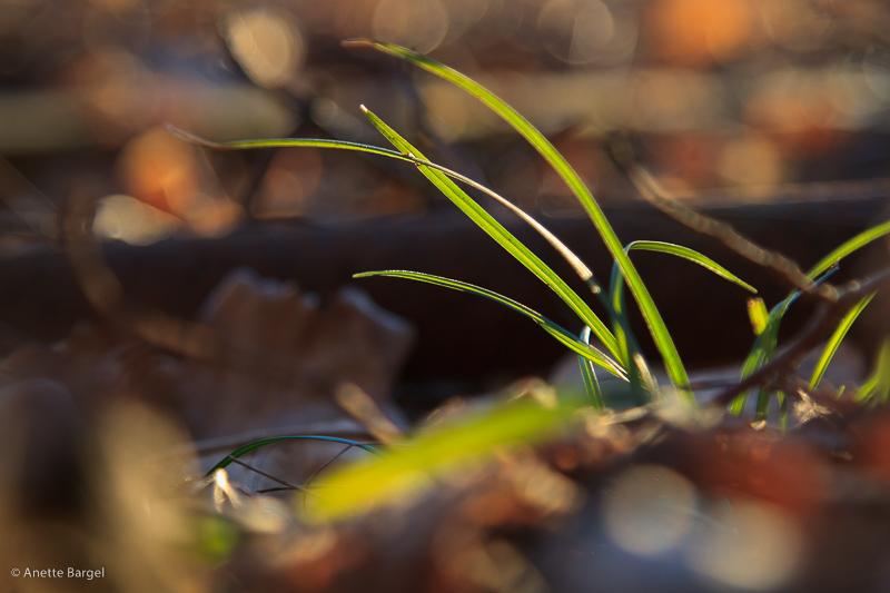 gröna vårstrån