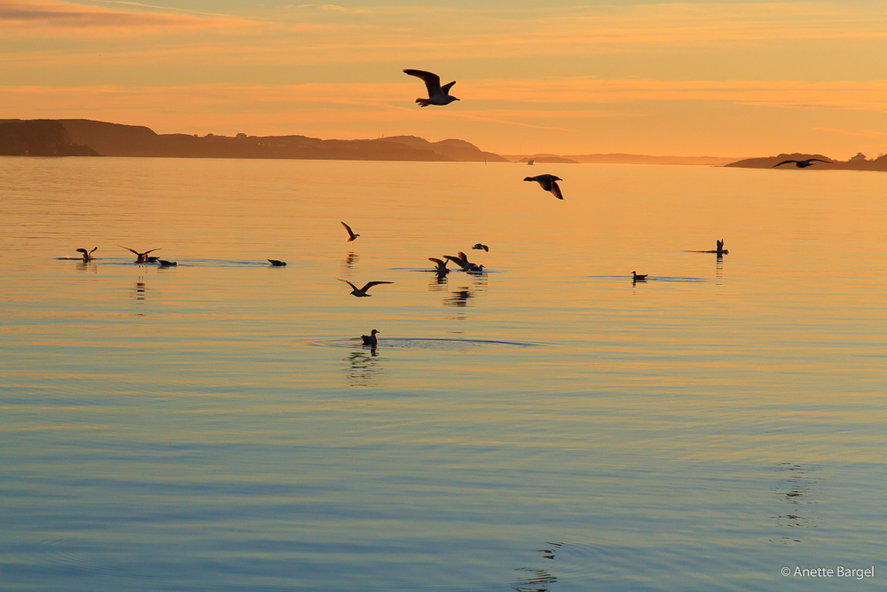 Lysekil solnedgång med måsar på fjorden