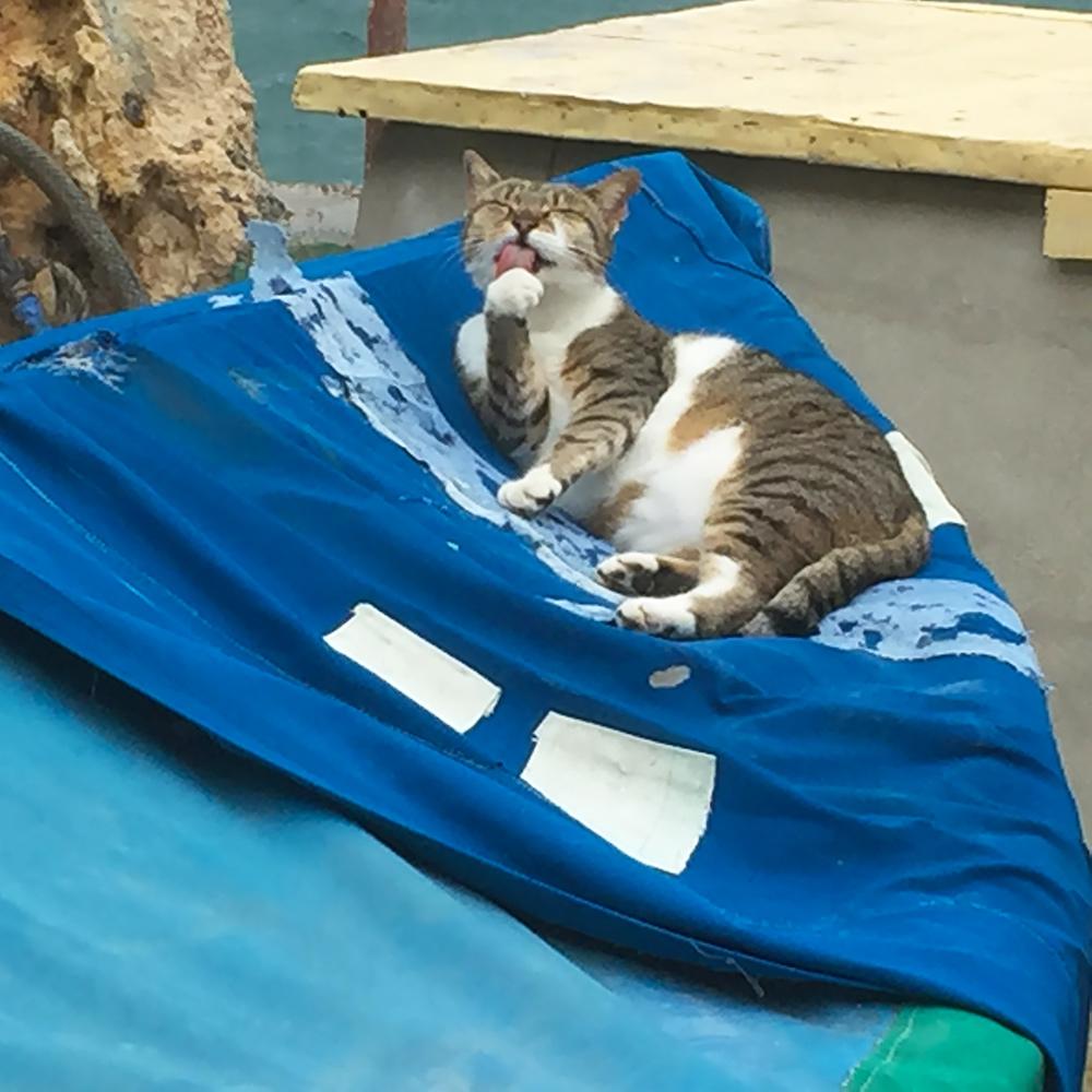 katt som tvättar sig