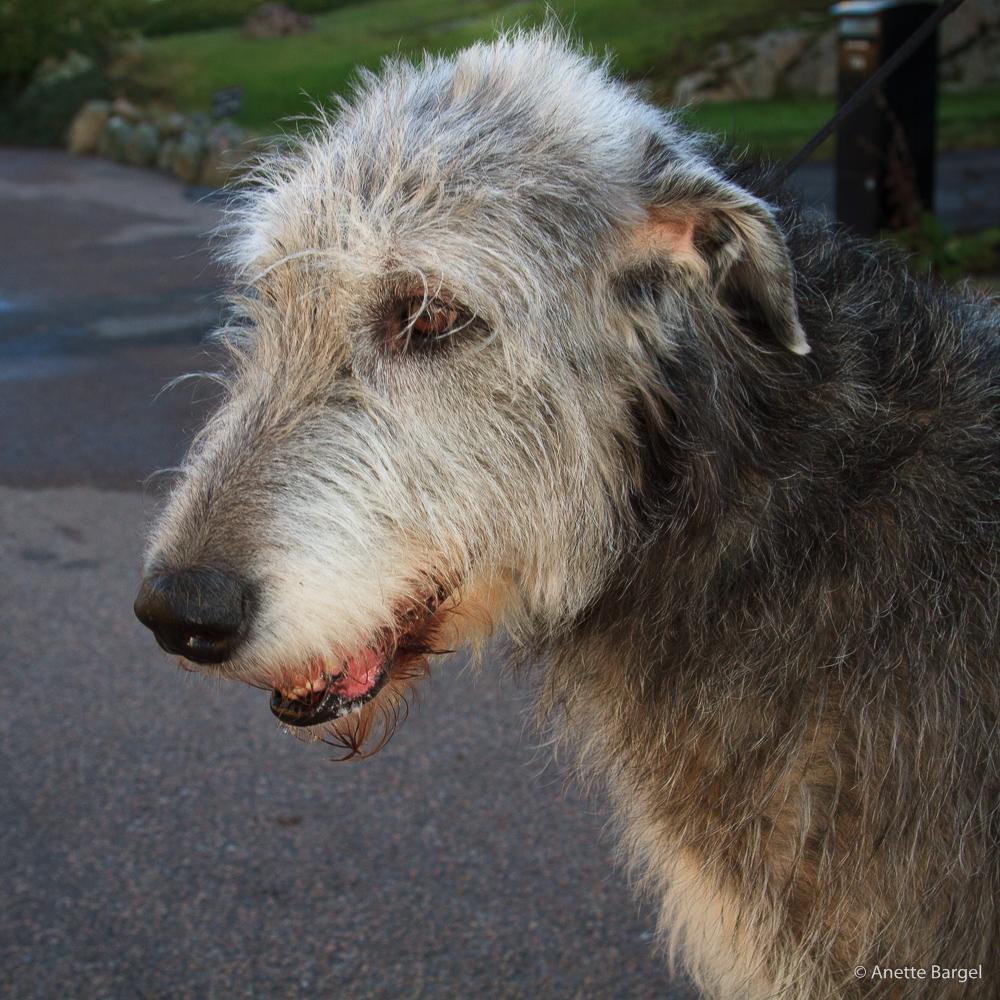 silvergrå hund